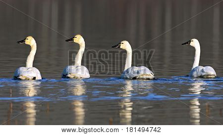 Four Tundra Swan swimming together on lake resting on their migration south
