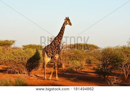 Picture of a Southern giraffe in Madikwe game reserve, South Africa.