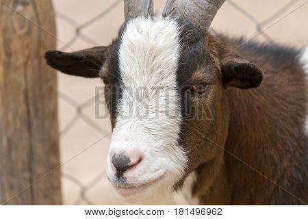 Portrait of a wild goat . A photo