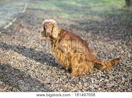 Female dog doing her pee toilet in the park