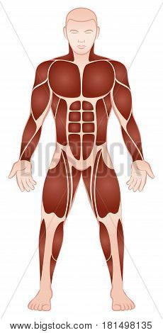 Muscle groups of a muscular male bodybuilder with athletically trained pecs, abs, deltoids, biceps, six pack, quads - front view - isolated vector illustration on white background.