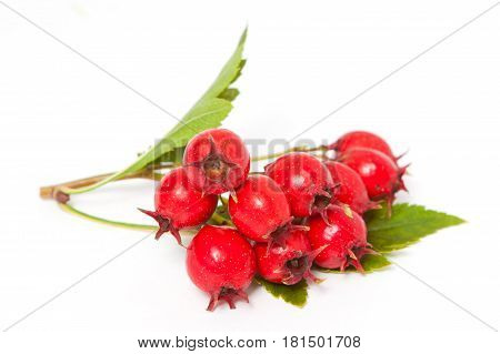 Branch Of Hawthorn Berries With Leaves