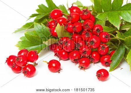 Juicy Ripe Berries Of Hawthorn Close-up