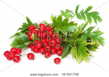 Juicy Ripe Hawthorn Berries Close-up