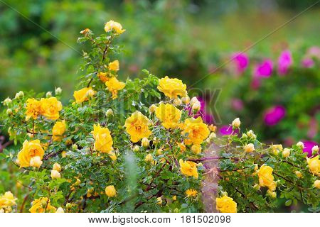 Hedge Of Yellow Clinging Roses