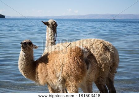 Two llamas at the coast of Titicaca River, on