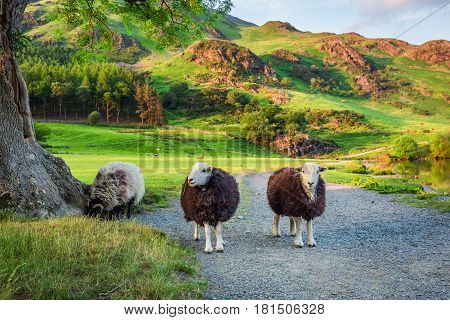 Curious Sheeps On Pasture In The Lake District, England