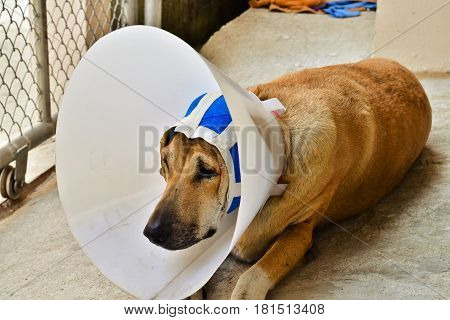A sick dog with a protective collar and blue bandage is lying on concrete floor after ear surgery operation