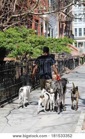 BROOKLYN, NEW YORK - APRIL 11, 2017: Dog walker at historic Brooklyn Heights neighborhood. Brooklyn Heights is an affluent residential neighborhood within the New York City borough of Brooklyn