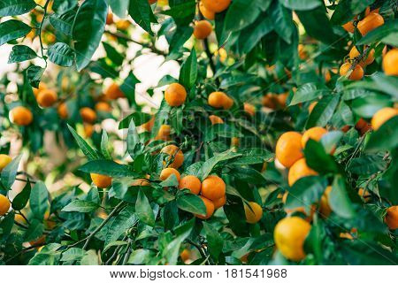 Orange mandarin on the tree. Ripe tangerine. Montenegrin mandarin trees. Home tangerine garden. A lot of fruit on the tree. Already ripe.