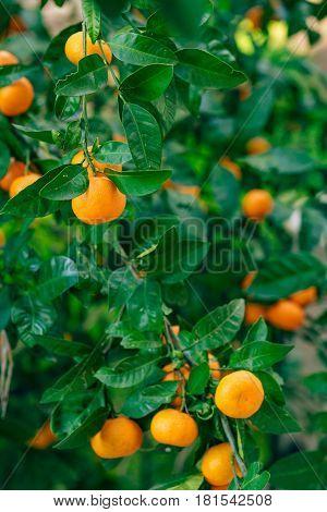 Orange mandarin on the tree. Ripe tangerine. Montenegrin mandarin trees. Home tangerine garden. A lot of fruit on the tree. Already ripe.