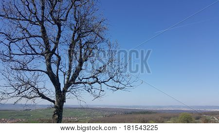 Lonely tree in early spring with unclouded sky