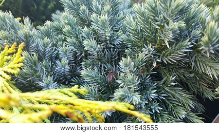 Young pines needles firs fir tree texture