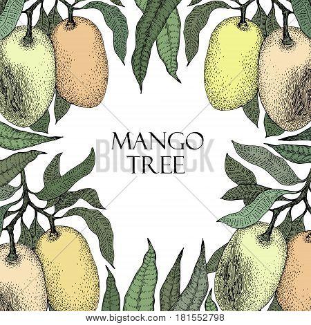 Mango tree vintage design template. Botanical mango fruit frame. Engraved mango. Retro illustration