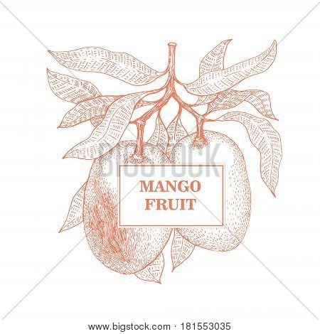 Mango tree vintage illustration. Botanical mango fruit illustration. Engraved mango. Vector illustration. Logo template