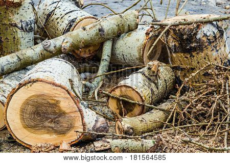 Landscape with sawn pieces of wood, poplar spring