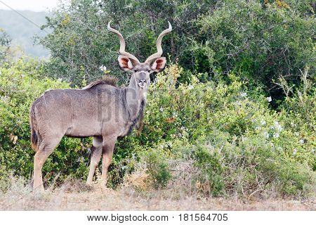 Greater Kudu Standing And Watching You