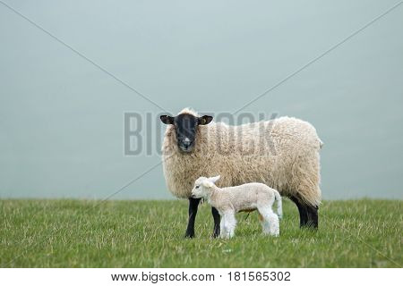 A ewe and her newborn lamb on the East Sussex South Downs during Springtime.