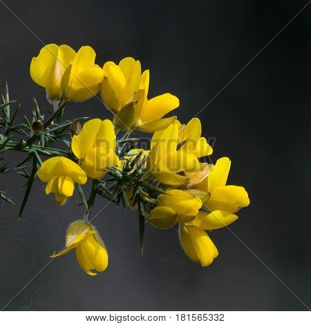 Yellow Gorse flowers and thorny evergreen foliage against dark background.