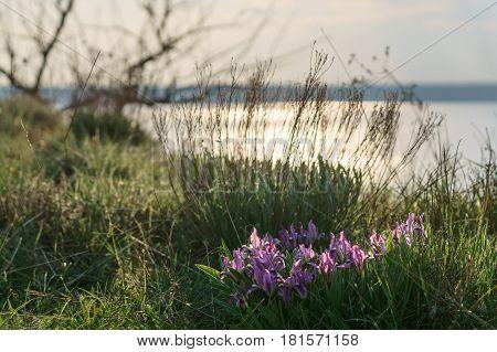 South-Eastern European wild irises on the lake bank.