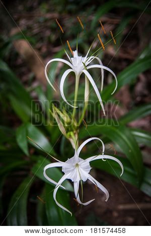 Closeup image of two Hymenocallis white flowers with green leaves in the rain forest of Khao Sok sanctuary Thailand