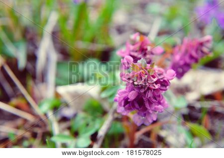 Spring forest flowers : scilla bifolia and Corydalis