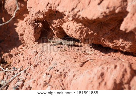 Side Blotched Lizard In Between The Red Rocks, In Lake Mead National Recreation Area, Nevada