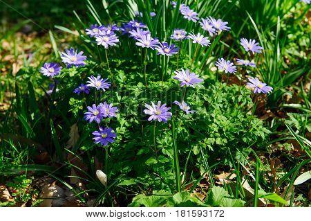 Anemone blanda Grecian windflower or winter windflower