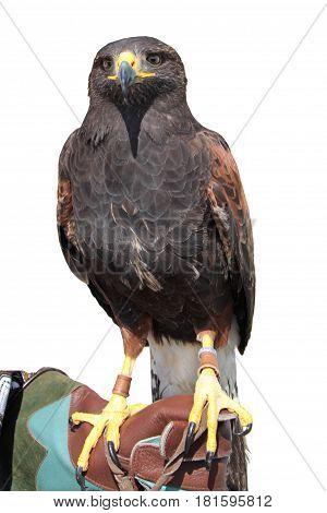 Black hawk , close up image .
