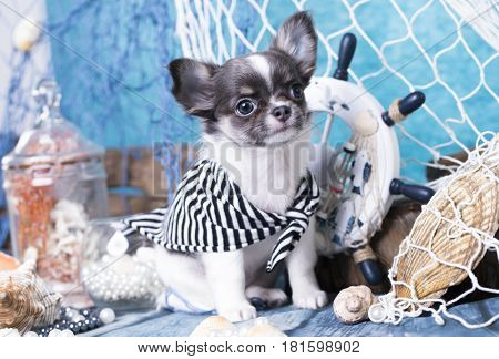 chihuahua puppy and sea wheel