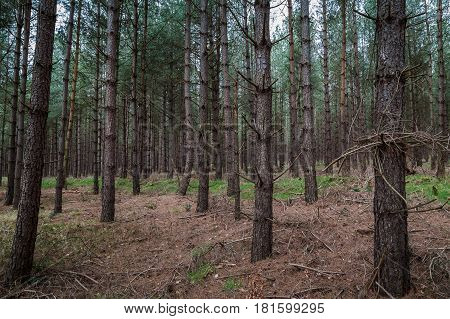 Frame-filling image of the pine trees at Santon Warren a woodland which makes up part of the larger Thetford Forest in South Norfolk.