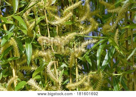 Young branches of willow weeping with catkins. Background. Texture. Blossoming willow weeping branches close up. Spring.