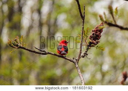 scarlet tanager on sumac tree in ontario