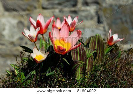 Beautiful red tulip blossom in the garden