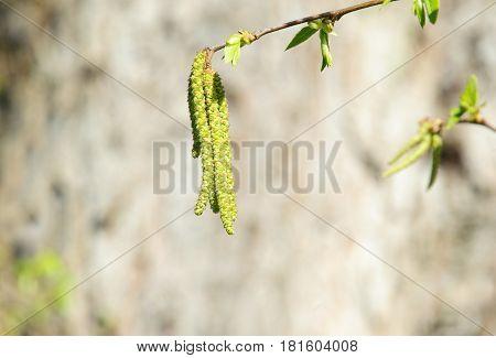 Ostrya carpinifolia buds on a spring time