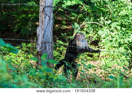 White Faced Capuchin Crossing The Track
