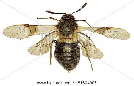 Honeysuckle sawfly Abia on white Background - Abia fasciata (Linnaeus 1758)