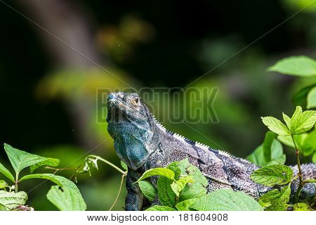 A bluey coloured black iguana lies on the top of a green bush in Guanacaste Costa Rica.