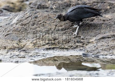 Black Vulture foraging in the rock pools on the coastline of Guanacaste Costa Rica.
