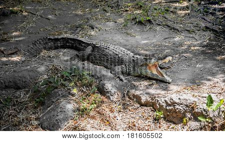 a large green crocodile with open jaws and large teeth on the rocks in summer on a Sunny day in the shade of the trees