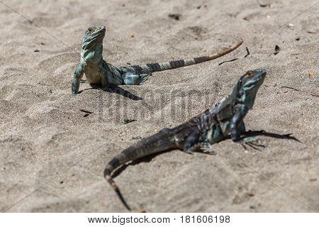 Pair Of Black Iguanas Basking