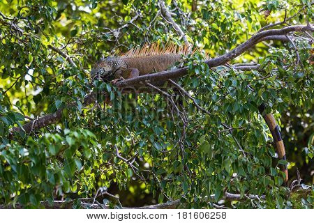 A Green Iguana Laying On A Branch