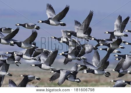 Barnacle geese in a flock with blue skies in the background