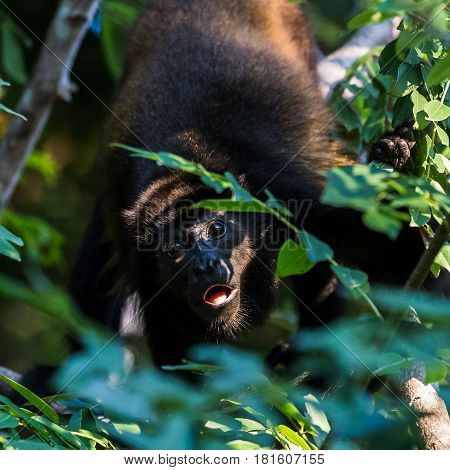 Square Crop Of A Howler Monkey