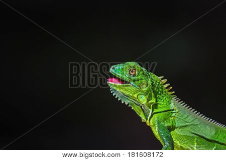 Juvenile Green Iguana basks next to a dry forest in Costa Rica.