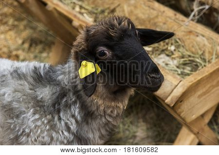 Black sheep at the farm