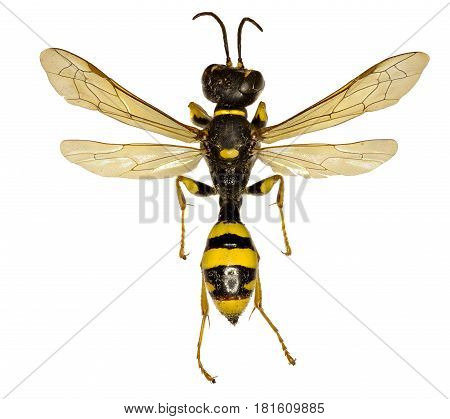 Field Digger Wasp on white Background - Mellinus arvensis (Linnaeus1758)