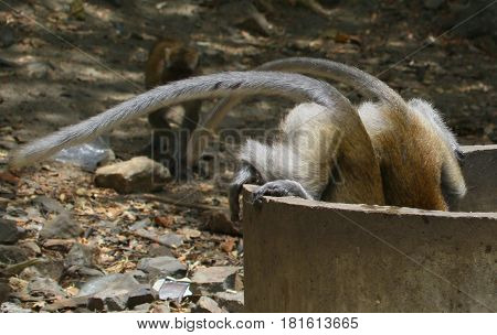 two Long-tailed Macaques comically hanging over the edge of a round concrete water tank for a drink in Songkhla, Thailand, with only their hindquarters and tails showing.