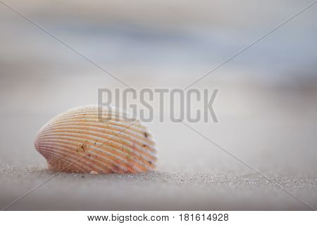 Seashell sitting in the sand with beach and ocean blurred in background