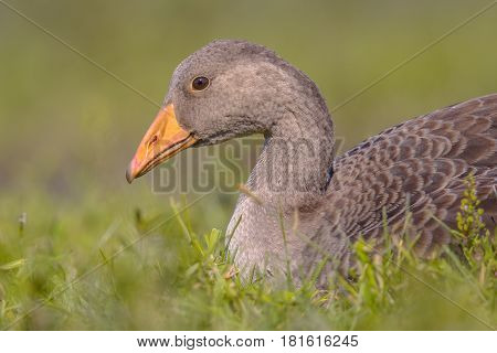 Greylag Goose Bird Lying In Grass